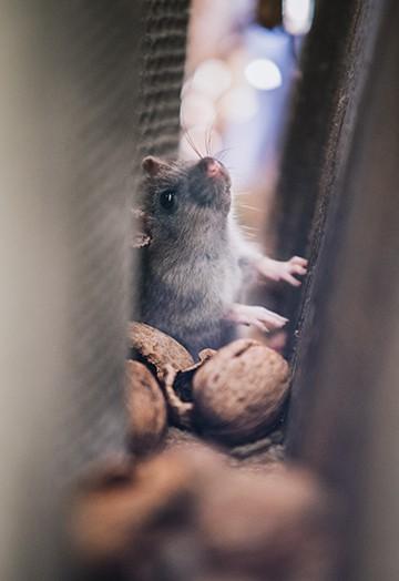 Pest Control Services - Rodent Service