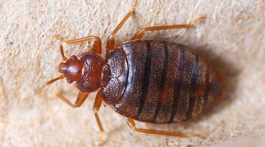 Bugsy's April Bed Bug Blitz